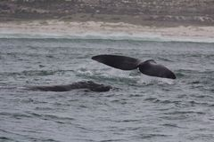 Dos et queue des baleines droites du sud nageant près de Hermanus, le Cap-Occidental l'Afrique du Sud images libres de droits