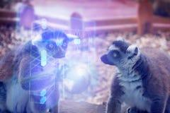 Dos extranjeros de los lémures Fotografía de archivo