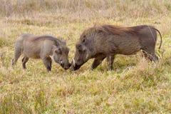 Dos facoqueros madre y cochinillo fotografiaron en Tala Private Game Reserve en Suráfrica Imagen de archivo