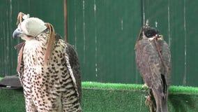 Dos Falcons en Doha Souq