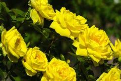 Dos filas de rosas amarillas brillantes entre el follaje verde Fotografía de archivo