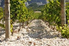 Dos filas de un viñedo en el pie de una montaña Fotos de archivo