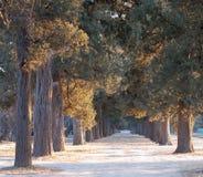 Dos filas del ciprés viejo Fotografía de archivo