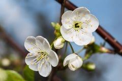 Dos flor blanca y brotes de cereza Foto de archivo libre de regalías