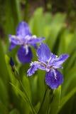 Dos flor-de-luce fotografía de archivo libre de regalías