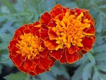Dos floraciones de la maravilla Foto de archivo