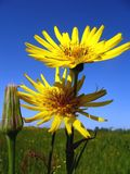 Dos flores Imágenes de archivo libres de regalías