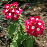 Dos flores Fotos de archivo