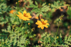 Dos flores amarillas con una abeja Foto de archivo