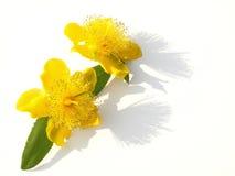 Dos flores amarillas de la hierba de San Juan Foto de archivo