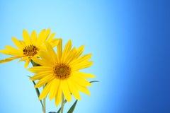 Dos flores amarillas de la margarita Fotografía de archivo