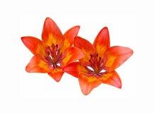 Dos flores anaranjadas en un fondo blanco. Imagen de archivo libre de regalías