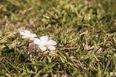 Dos flores bastante blancas de hierbas salvajes imagenes de archivo