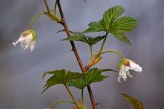 Dos flores blancas Imágenes de archivo libres de regalías