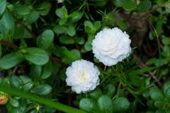 Dos flores blancas en el fondo fotos de archivo libres de regalías
