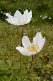 Dos flores blancas en el jardín imagen de archivo libre de regalías
