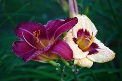 Dos flores, dos colores Imagen de archivo