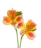 Dos flores de Alstroemeria imagen de archivo libre de regalías