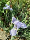 Dos flores de color de malva Fotos de archivo libres de regalías