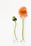 Dos flores de la amapola Imágenes de archivo libres de regalías