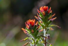 Dos flores de la brocha india del escarlata fotografía de archivo