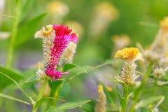 Dos flores de la cresta de gallo del tono Imágenes de archivo libres de regalías