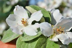 Dos flores de la manzana se cierran para arriba Foto de archivo