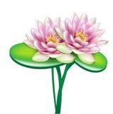 Dos flores de loto abiertas en ramo Foto de archivo