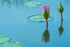 Dos flores de loto rosadas, florecientes imponentemente hermosas, en una charca cielo-reflectora, en un parque tailandés enorme d Imagen de archivo