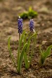 Dos flores de muscari en primavera Fotografía de archivo