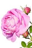 Dos flores de subir Geschwind color de rosa Nordlandrose, Geschwind 1884 con los Apis occidentales Mellifera de la abeja de la mi Foto de archivo libre de regalías