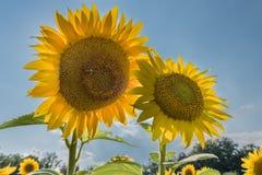 Dos flores de Sun en el cielo azul Fotografía de archivo libre de regalías