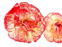 Dos flores del clavel del tono Fotos de archivo