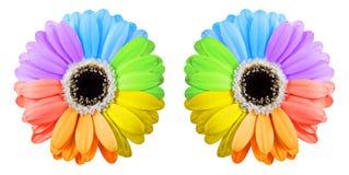 Dos flores del gerbera del arco iris Foto de archivo libre de regalías