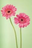 Dos flores del germini en un fondo verde suave fotos de archivo
