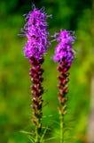 Dos flores del liatris en campo Imagen de archivo