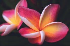 Dos flores del plumeria Foto de archivo