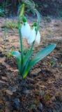 Dos flores del snowdrop rodeadas por la tierra y las pequeñas plantas Fotografía de archivo libre de regalías
