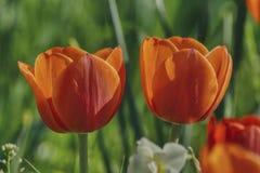 Dos flores en un fondo borroso verde, pétalos grandes del tulipán de la flor foto de archivo