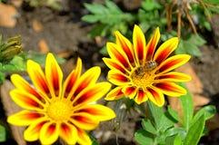 Dos flores hermosas Fotos de archivo