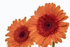 Dos flores hermosas de Gerber en naranja Foto de archivo libre de regalías