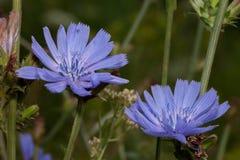 Dos flores hermosas de la achicoria están creciendo en un prado de la primavera fotografía de archivo