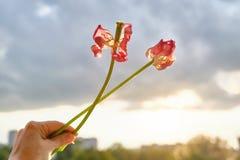 Dos flores marchitadas de la mujer de los tulipanes a disposici?n, cielo de igualaci?n dram?tico de la puesta del sol con las nub fotos de archivo libres de regalías