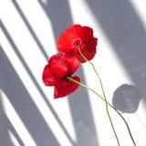 Dos flores rojas de la amapola en el fondo blanco con la luz del sol del contraste y las sombras se cierran para arriba foto de archivo libre de regalías
