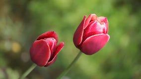 Dos flores rojo oscuro hermosas almacen de video