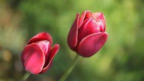 Dos flores rojo oscuro hermosas metrajes