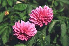 Dos flores rosadas de la dalia en el cierre del jardín para arriba Fotos de archivo libres de regalías
