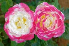 Dos flores rosadas de la rosa del blanco en el jardín foto de archivo libre de regalías