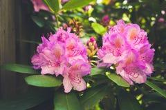 Dos flores rosados Foto de archivo libre de regalías