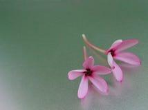 Dos flores rosas claras en una superficie brillante Imágenes de archivo libres de regalías